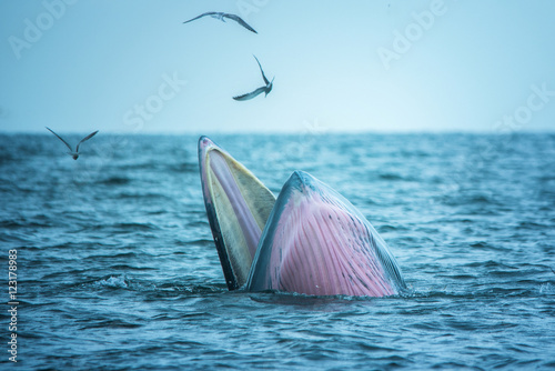 Bryde's whale of gulf of Thailand