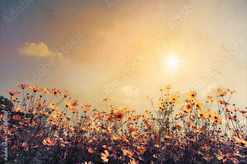 Vintage landscape nature background of beautiful cosmos flower field on sky with sunlight Plakat