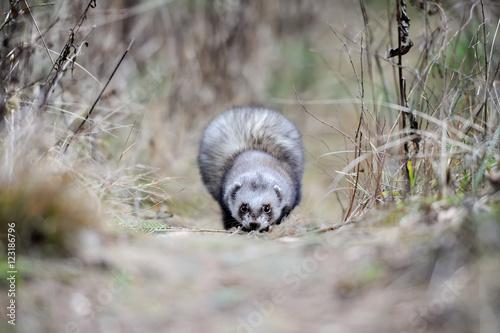 Fotografija  Wild polecat in forest