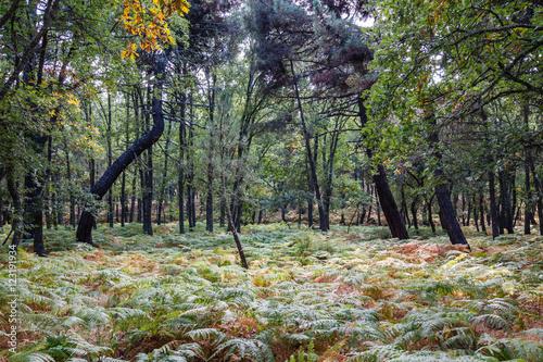 Bosque de helechos, robles y pinos. © LFRabanedo