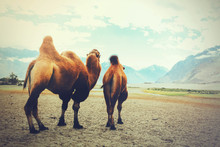Double Hump Camels Setting Off...