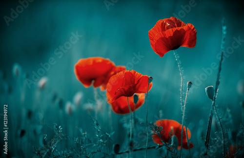 Foto op Canvas Klaprozen Amazing poppy field . Summer flowers .