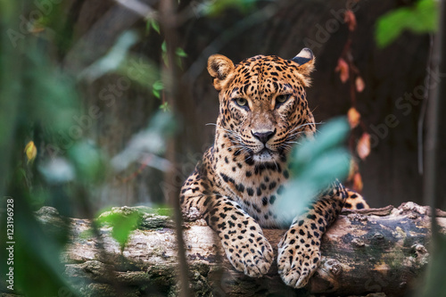 Deurstickers Luipaard Ceylon leopard lying on a wooden log and looking straight ahead