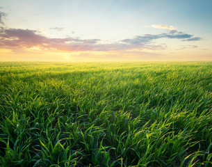 Fototapeta Inspiracje na lato Grass on the field during sunrise. Agricultural landscape in the summer time