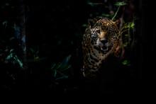 American Jaguar Female In The ...