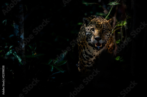 Photo Stands Panther American jaguar female in the darkness of a brazilian jungle, panthera onca, wild brasil, brasilian wildlife, pantanal, green jungle, big cats, dark background, low key