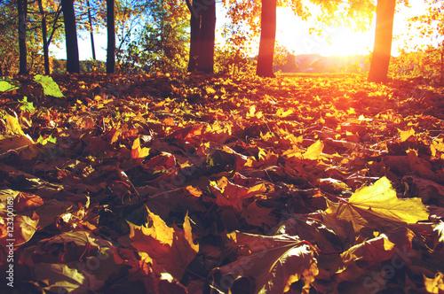 Fototapeta  autumn trees on sun obraz na płótnie