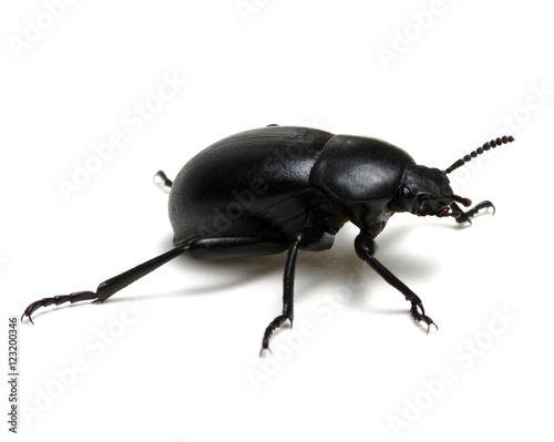 black beetle on white Fototapete