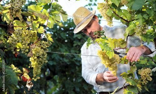 Fotografía  Grapes harvest, Winemaker in vineyard