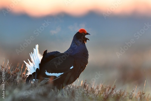 Photo  Black Grouse calling at sunrise
