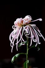 Pink Chrysanthemum Against Dark Background