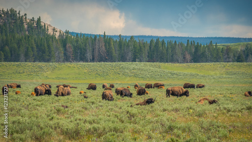 Aluminium Prints Bisons, yellowstone national park