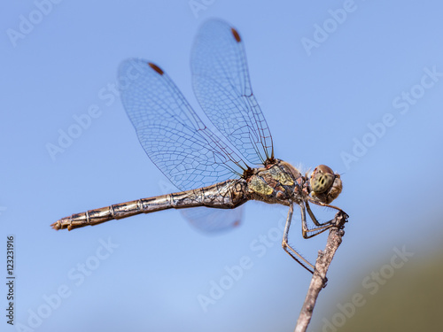 Dragonfly perched on a twig Wallpaper Mural