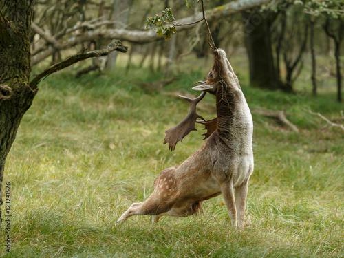 Fotobehang Ree Fallow deer in nature during rutting season