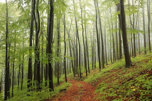 Garden Poster Forest Beech forest in misty weather at the beginning of autumn