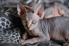 Sphinx Cat Lying With His Brothers