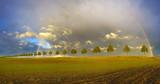 Fototapeta Tęcza - Wielobarwna tęcza na wieczornym niebie nad polem młodego zboża