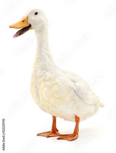 Duck on white. Wall mural