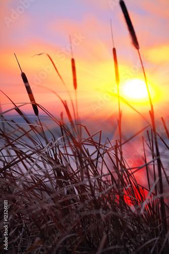 Obraz na plátně  silhouette of reeds at sunset