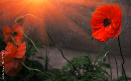 dziki-kwiat-maku-w-sloncu-wieczorowa-pora