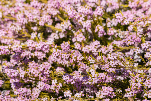 Closeup Of Tiny Pink Bush Flowers In Bloom Buy This Stock Photo