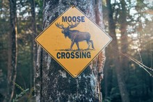 Moose Crossing Sign On A Road ...