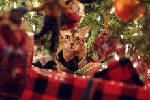 Cute Bengal Cat Playing Under ...