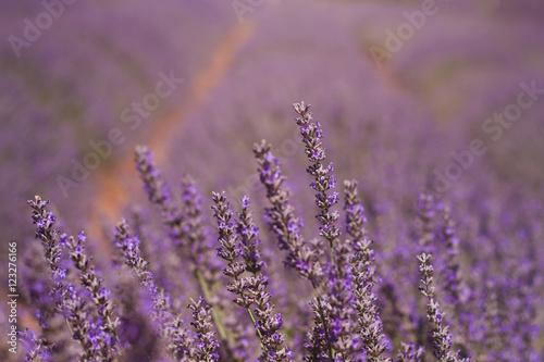 Photo  lavender field