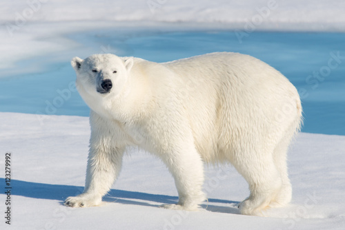 Photo sur Aluminium Ours Blanc Polar Bear