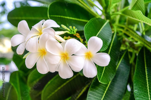 Tuinposter Frangipani White Plumeria flower are blooming beautifully.