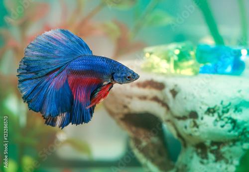 Photo Blue betta fish Aquarian swims in aquarium water