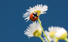 Beautiful Ladybug On A Tiny White Wildflower Against Clear Blue Summer Sky; With Copy Space