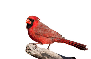 Handsome bright red Northern Cardinal male perched on a limb, isolated on white