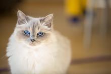 A Beautiful Female Birman Cat