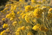 Dwarf Everlast Or Immortelle (...