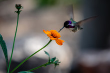 A Hummingbird Feeding On A Wildflower Near Tucson, Arizona.