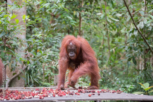 Foto op Aluminium Indonesië Agile orangutan came rambutanom dine on a platform (Kumai, Indonesia)
