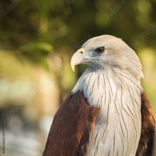 Fotografie, Tablou  Red-tailed hawk..