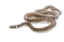 Creeping Snake Isolated On White Background