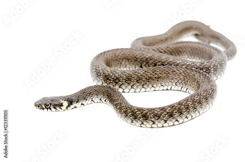 Creeping snake isolated on white background