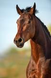 Fototapeta Konie - Bay horse portrait in motion