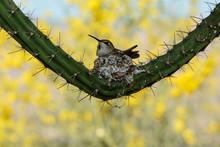 A Devoted Hummingbird Mother B...