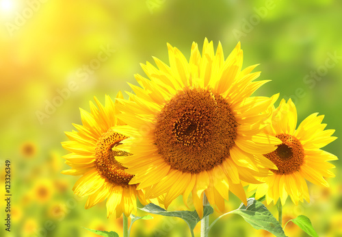 In de dag Zonnebloem Sunflowers on blurred sunny background