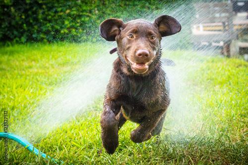 labrador retriever puppy dog running through water sprinkler