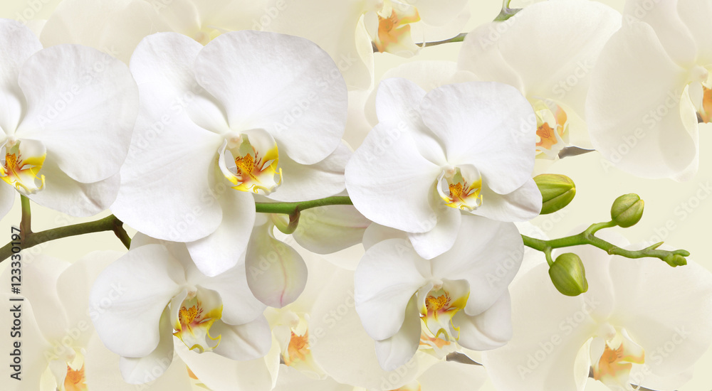 Large white Orchid flowers in a panoramic image