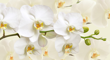 FototapetaLarge white Orchid flowers in a panoramic image