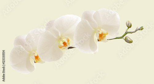 Tuinposter Orchidee Large white Orchid flowers in a panoramic image