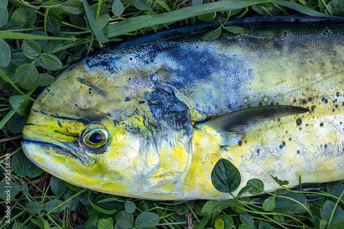 Fotobehang Vissen Fresh big fish on the grass.