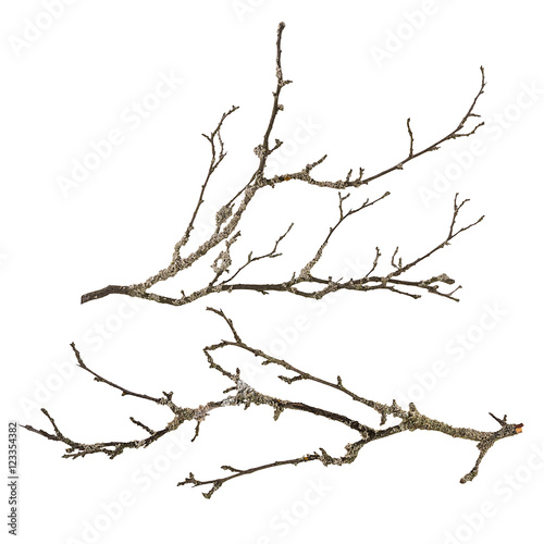 Dry tree branch with lichen isolated Wall mural