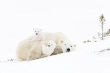 Polar Bear Mother (Ursus Marit...